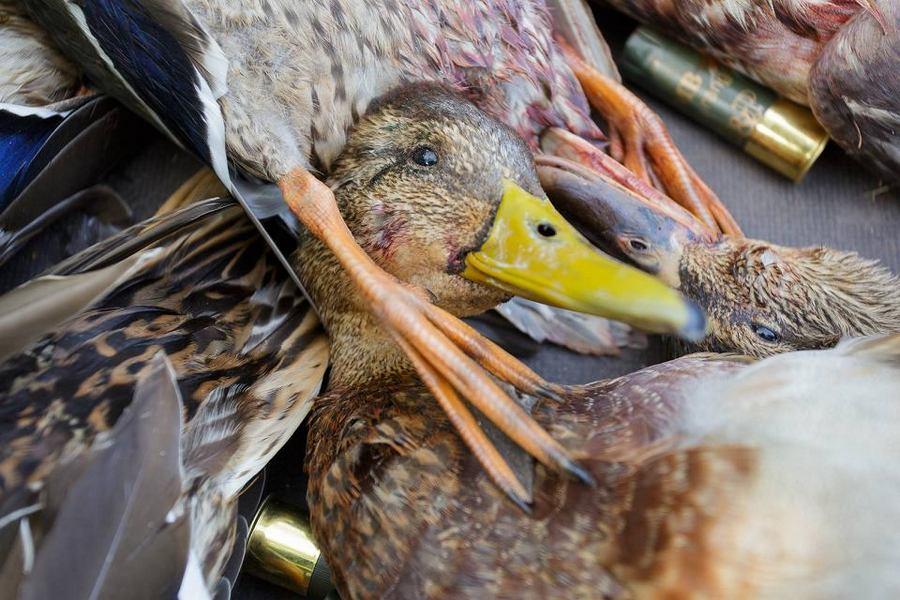 Zabójcy ptaków ruszyli na pola